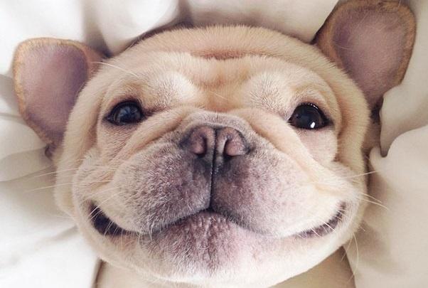 Ezt látnod kell: a narkolepsziás bulldog mindig vigyorog